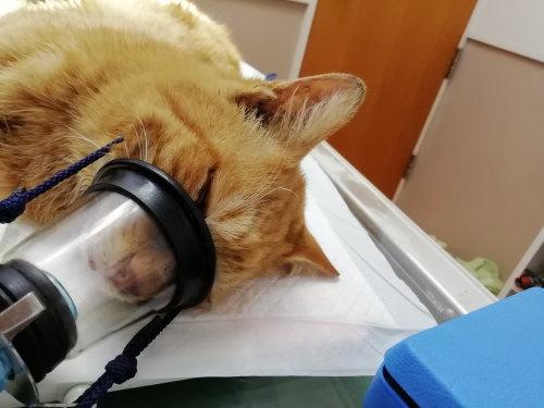 のら猫オスの去勢手術